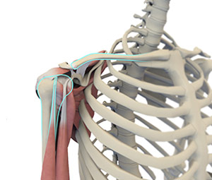Shoulder Anatomy 3d imgae